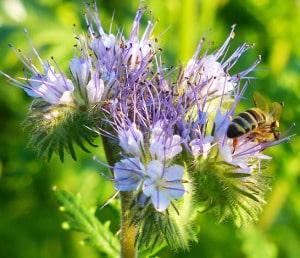 Bienenblume Phacelia